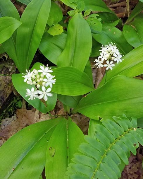 White clintonia