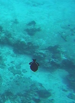 ~Cozumel black triggerfish 2