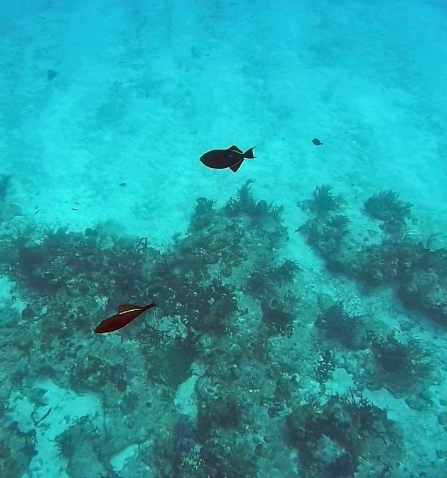 ~Cozumel black triggerfish