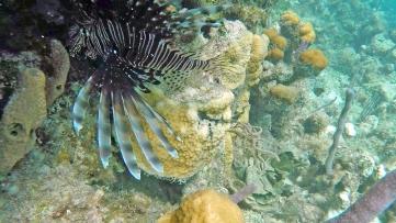 ~Roatan Snorkel lionfish