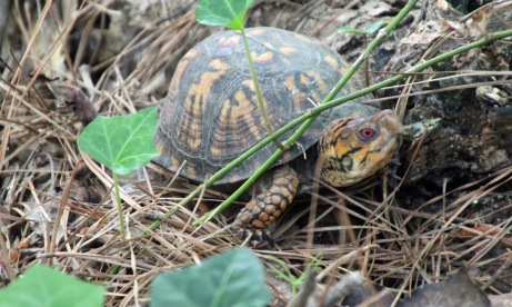 Box turtle backyard (2)
