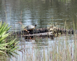 ~St A turtle