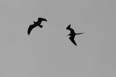 ~Henderson Beach 1 Osprey and Frigate(57)